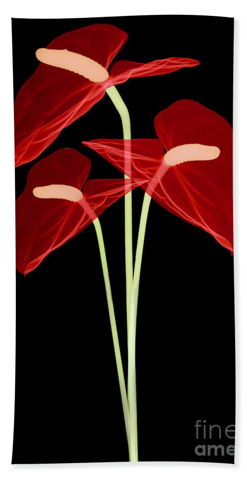Science Beach Towel featuring the photograph Anthurium Flowers, X-ray by Ted Kinsman