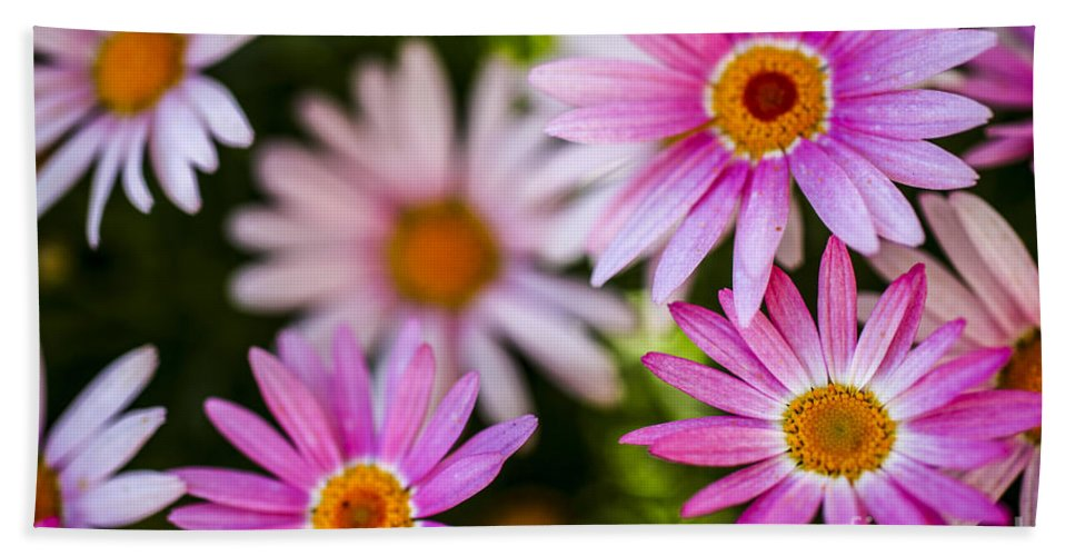 Pink Beach Towel featuring the photograph Flowering Garden. by Gal Eitan