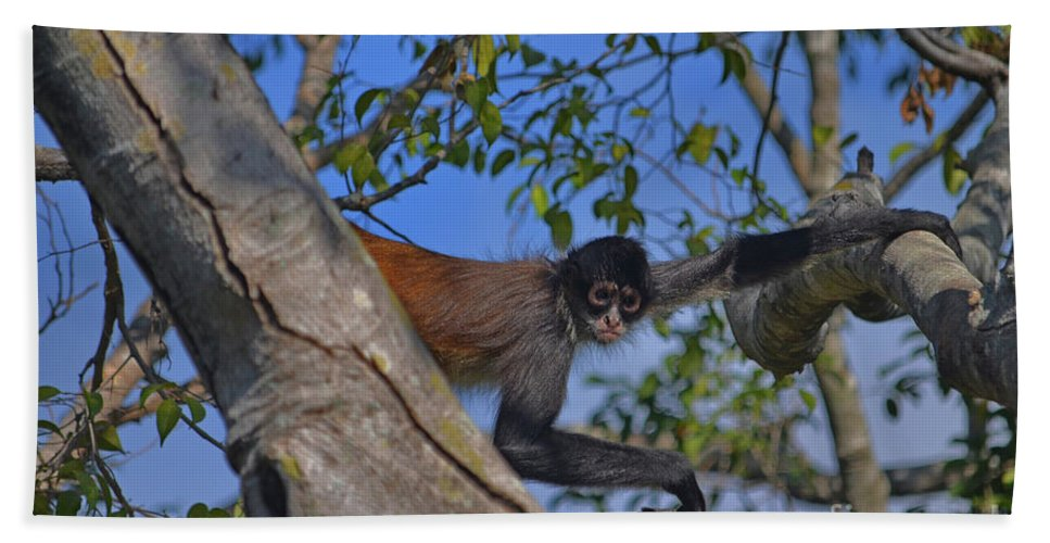 Capuchin Monkey Beach Towel featuring the photograph 48- Capuchin Monkey by Joseph Keane