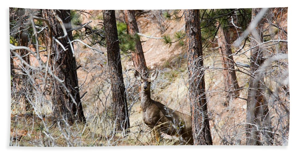Deer Beach Towel featuring the photograph Mule Deer In The Pike National Forest Of Colorado by Steve Krull