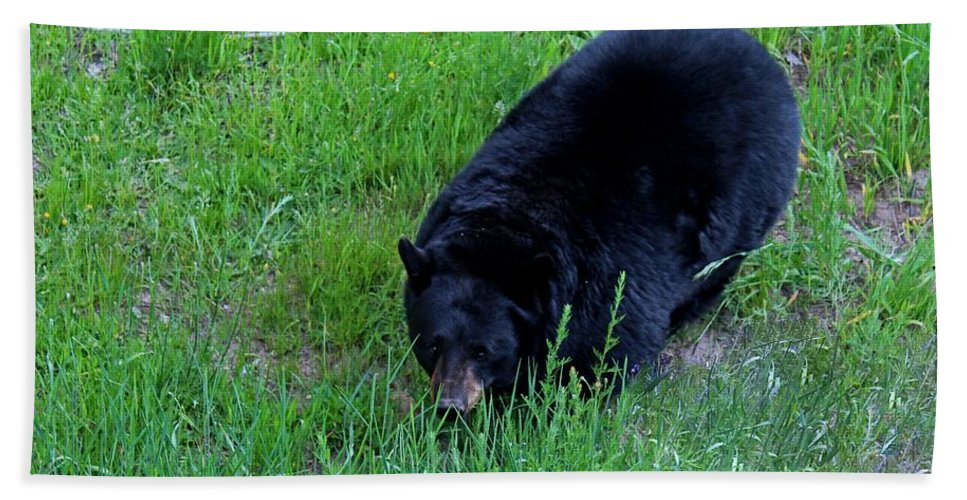 Black Beach Towel featuring the photograph A Bear Over There by Michiale Schneider