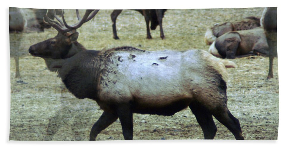 Elk Beach Towel featuring the photograph A Bull Elk by Jeff Swan