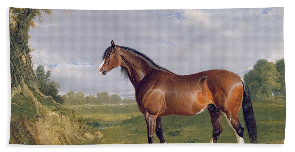 Xyc265055 Beach Towel featuring the photograph A Clydesdale Stallion by John Frederick Herring Snr