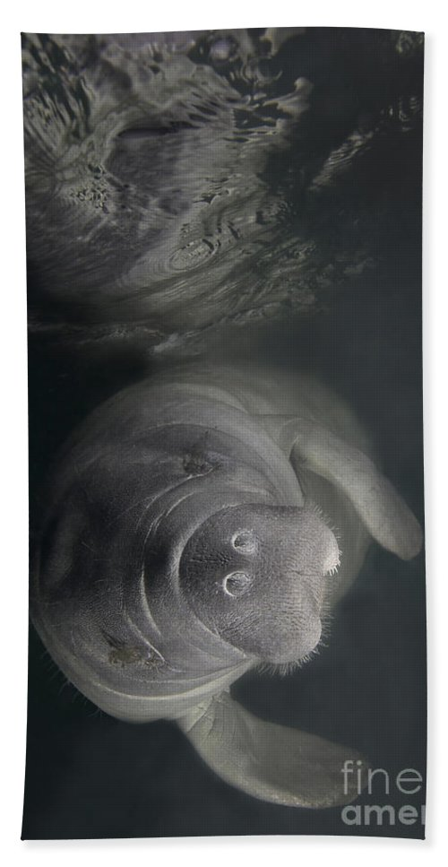 Florida Beach Towel featuring the photograph A Florida Manatee In The Warm Waters by Terry Moore