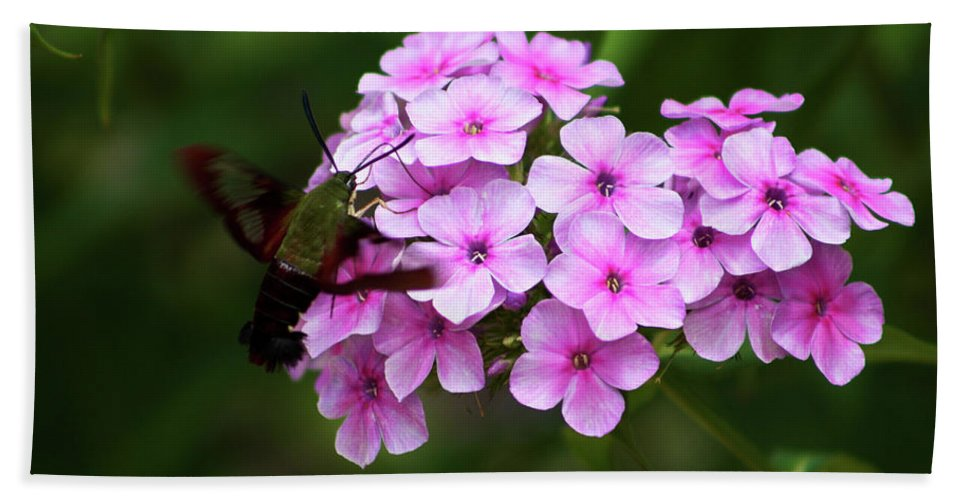 Phlox Paniculata Beach Towel featuring the photograph A Hummingbird Moth With Phlox Flowers by Selena Wagner