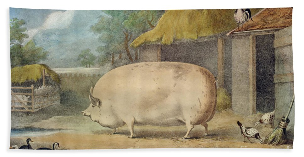 Pig Beach Towel featuring the painting A Leicester Sow by William Henry Davis