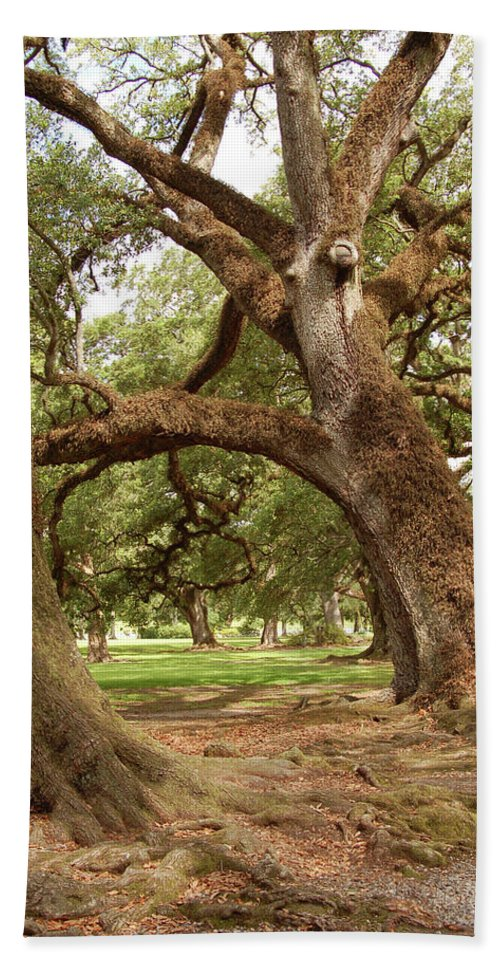 South Beach Towel featuring the photograph A Maze Of Oak Trees by Timothy Wyer
