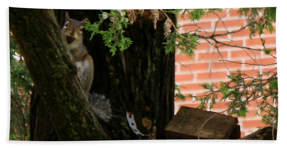 Squirrel Beach Towel featuring the photograph A Nut by Sherri Williams