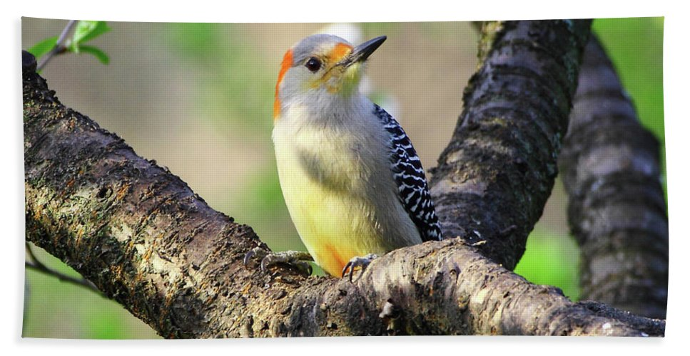 Red-bellied Woodpecker Beach Towel featuring the photograph A Shady Woodland Bird Red-bellied Woodpecker by Herbert L Fields Jr