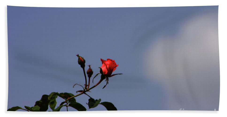 Rose Beach Towel featuring the photograph A Single Rose by Tommy Anderson