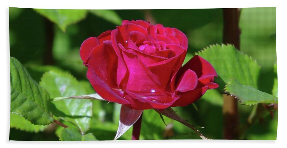 Rose Beach Towel featuring the photograph A Watered Rose by Jeff Swan