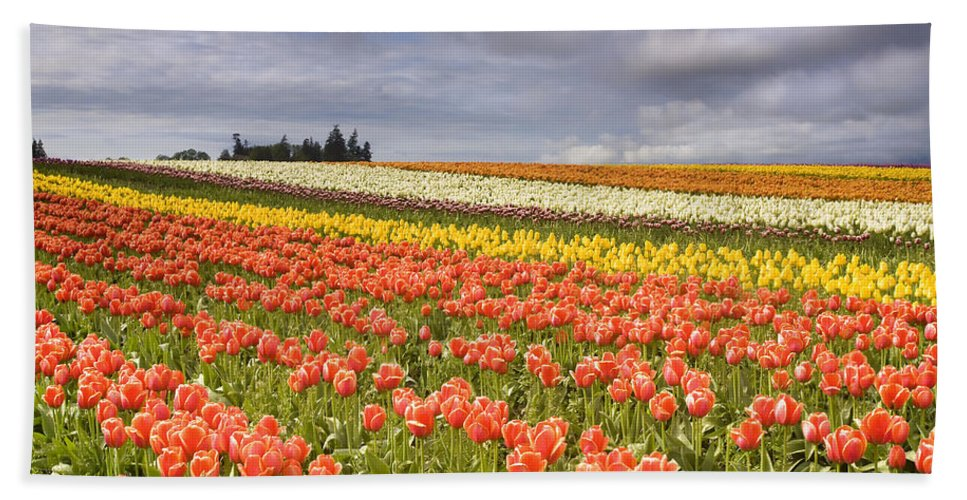 Tulips Beach Towel featuring the photograph Across Colorful Fields by Mike Dawson