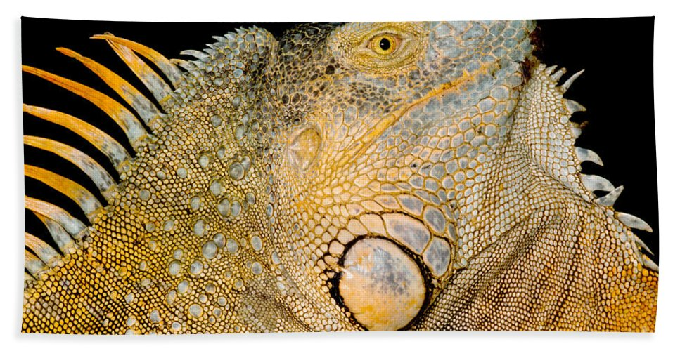 Iguana Iguana Beach Towel featuring the photograph Adult Male Green Iguana by Dant� Fenolio