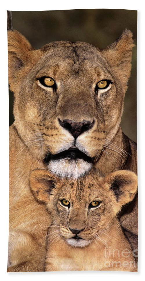 African Lion Beach Towel featuring the photograph African Lions Parenthood Wildlife Rescue by Dave Welling