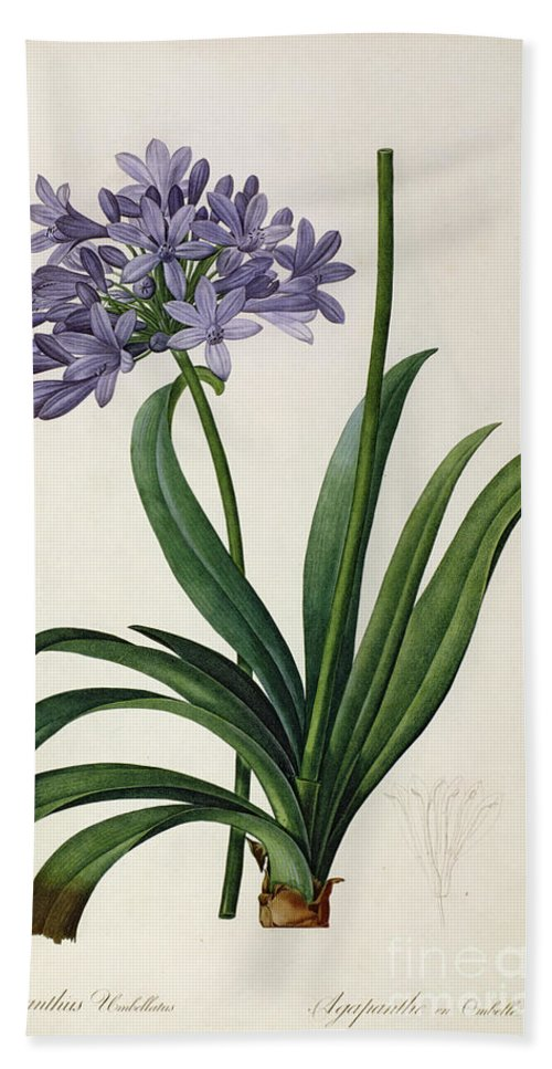 Agapanthus Beach Towel featuring the painting Agapanthus Umbrellatus by Pierre Redoute