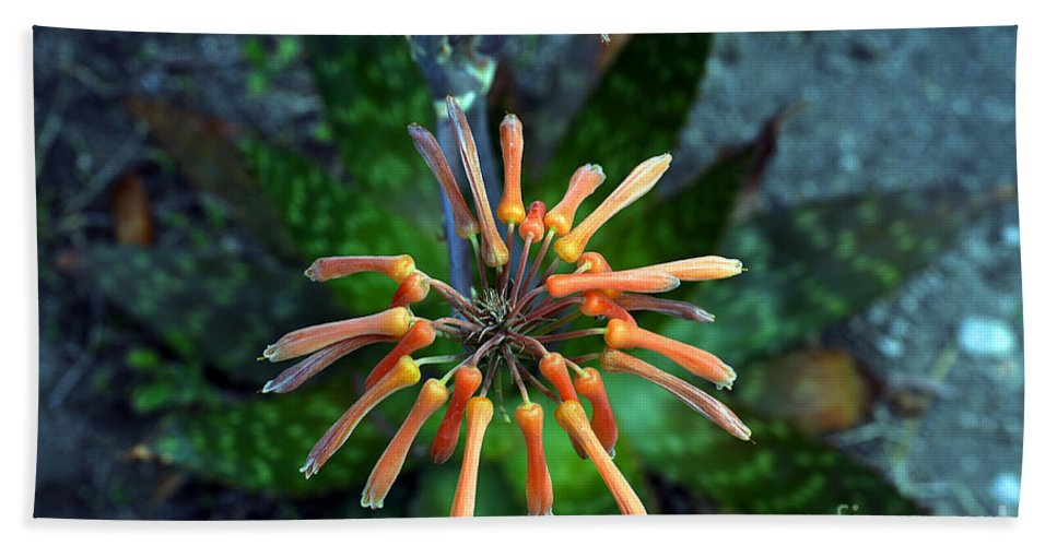 Clay Beach Towel featuring the photograph Aloe Vera by Clayton Bruster