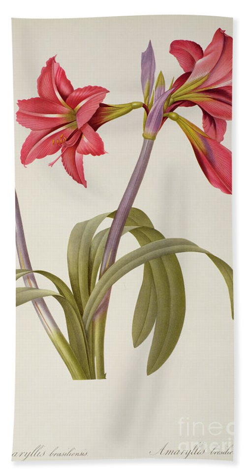 Amaryllis Beach Towel featuring the drawing Amaryllis Brasiliensis by Pierre Redoute