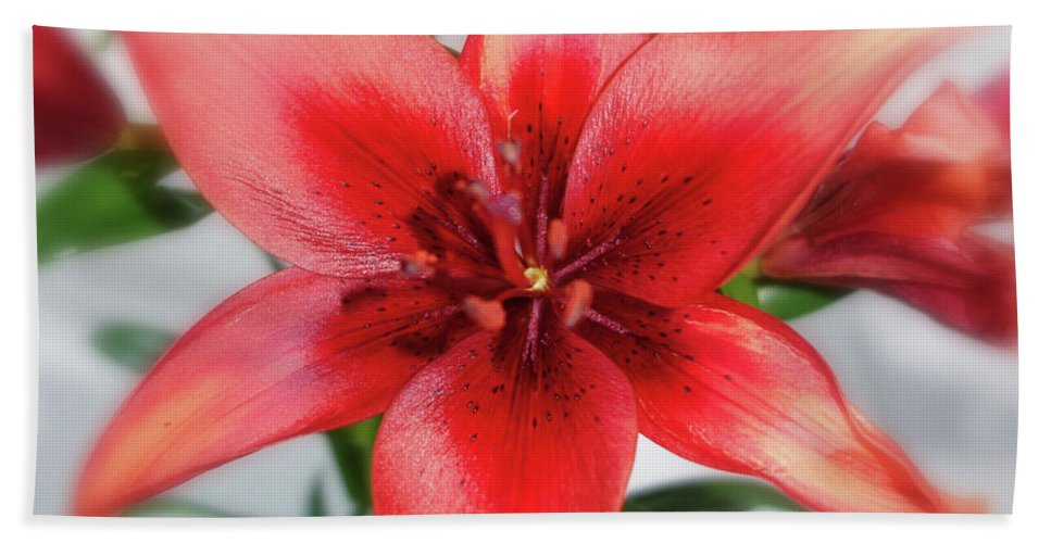 Amaryllis Beach Towel featuring the photograph Amaryllis In Fading by Barroa Artworks