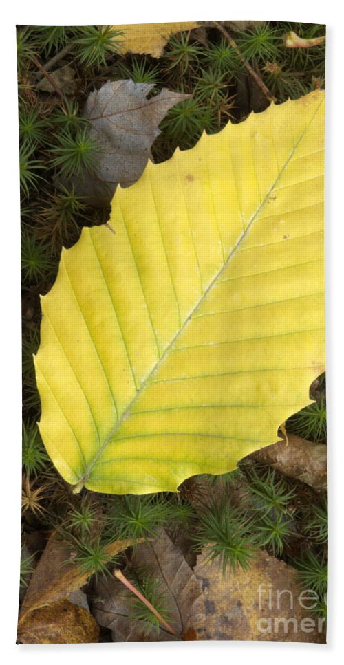 Autumn Beach Towel featuring the photograph American Beech Leaf by Erin Paul Donovan