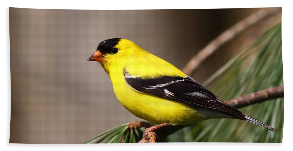 Goldfinch Beach Towel featuring the photograph American Goldfinch by Bruce J Robinson
