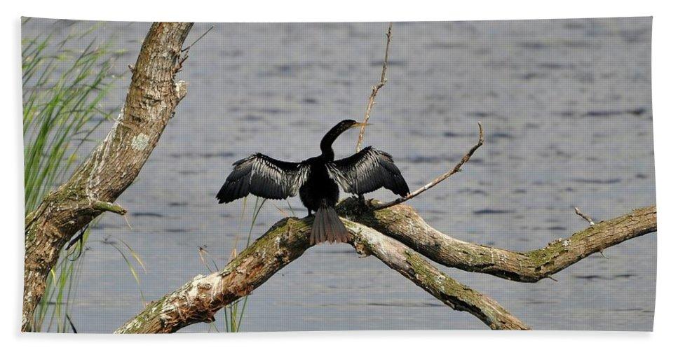 Anhinga Beach Towel featuring the photograph Anhinga And Alligator by Al Powell Photography USA