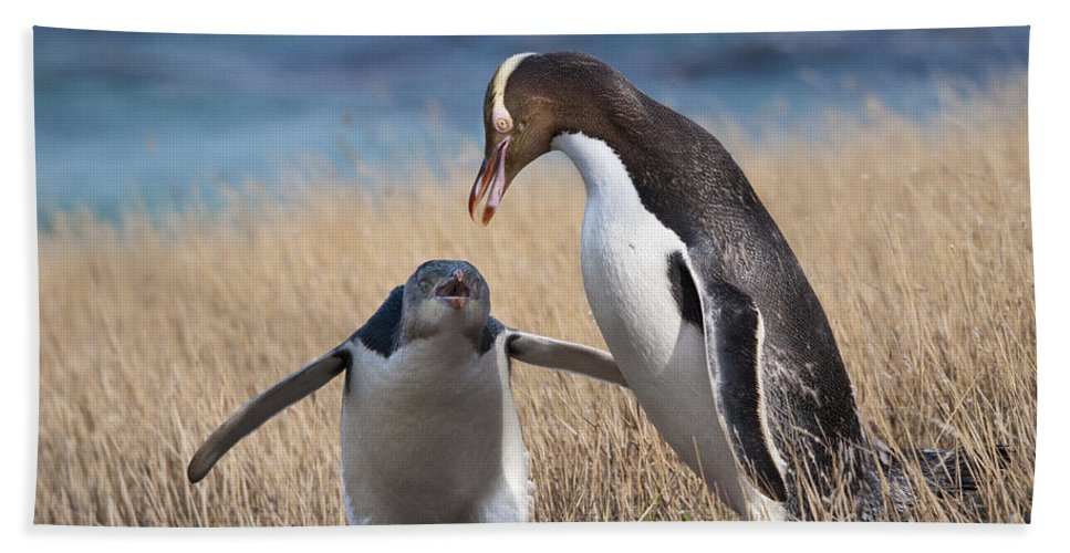 Penguin Beach Towel featuring the photograph Anticipation by Werner Padarin