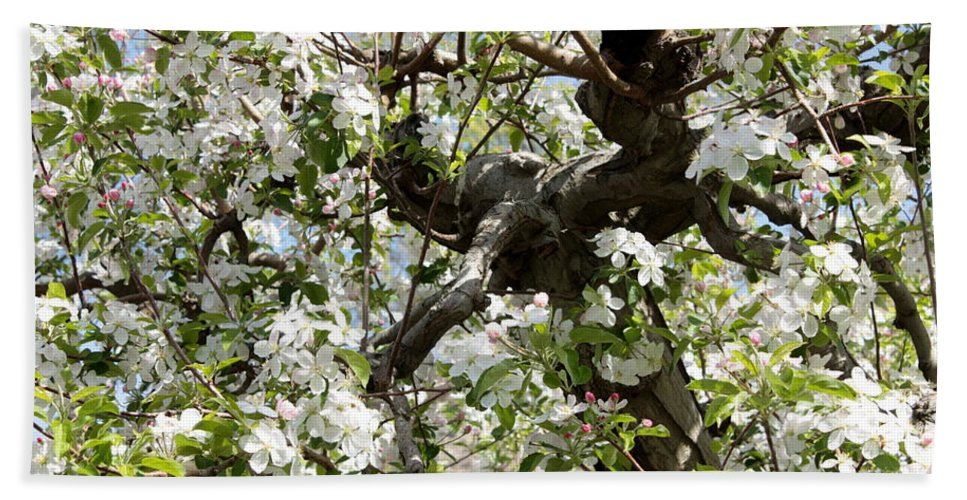 Apple Blossoms Beach Towel featuring the photograph Apple Blossoms by Carol Groenen