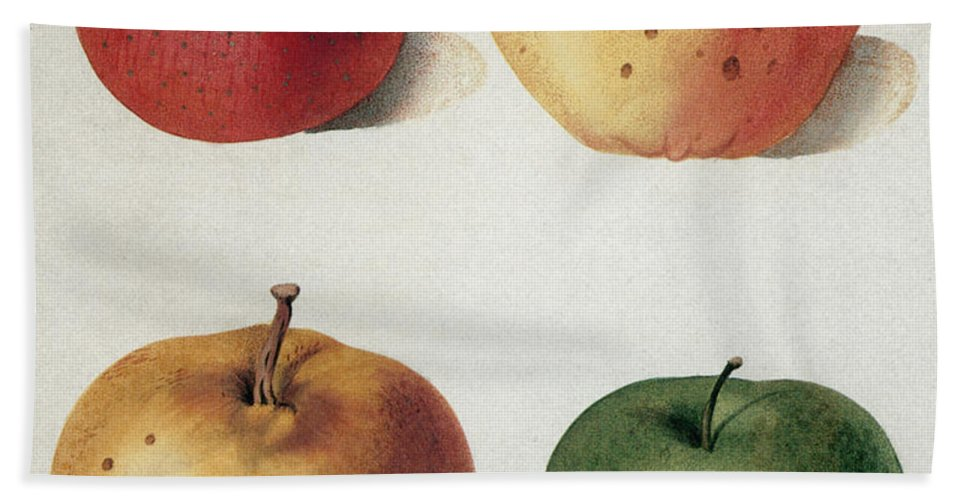 19th Century Beach Towel featuring the photograph Apples by Granger