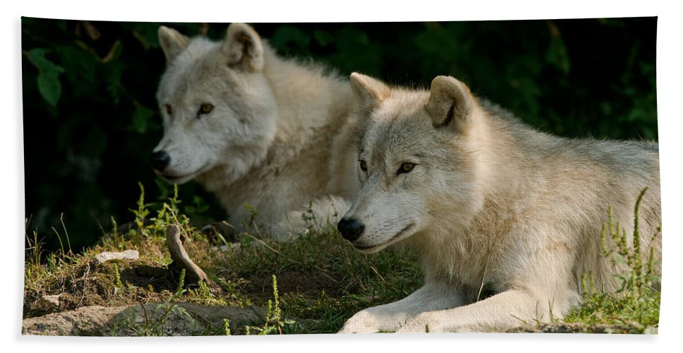Arctic Wolf Beach Towel featuring the photograph Arctic Wolf Pictures 1268 by World Wildlife Photography