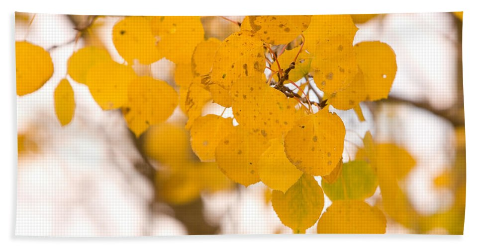 Trees Beach Towel featuring the photograph Aspen Leaves by James BO Insogna