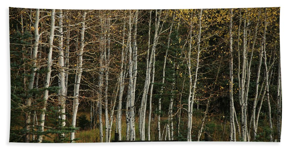 Landscape Beach Towel featuring the photograph Aspens In The Fall by Timothy Johnson