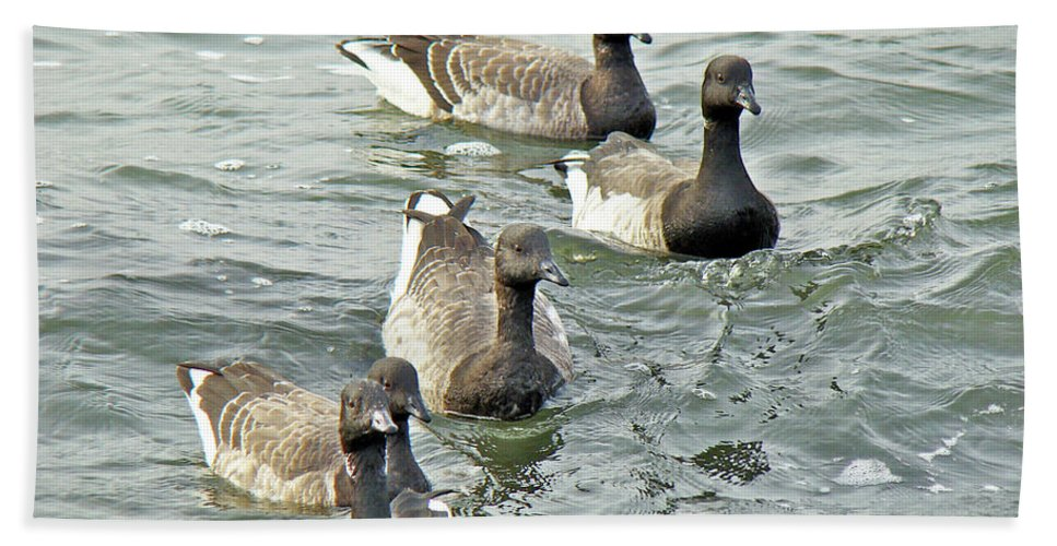 Geese Beach Towel featuring the photograph Atlantic Brant Geese - Branta Bernicla Hrota by Mother Nature