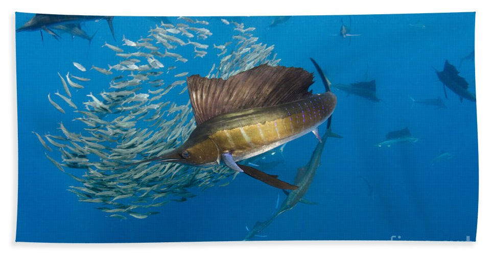 00456229 Beach Towel featuring the photograph Atlantic Sailfish Hunting by Pete Oxford
