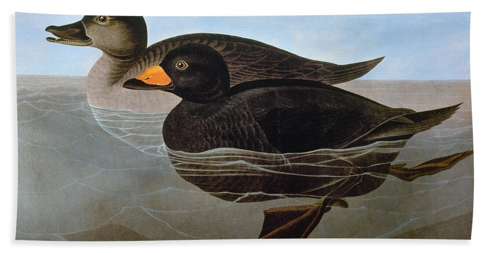 1827 Beach Towel featuring the photograph Audubon: Duck, 1827 by Granger