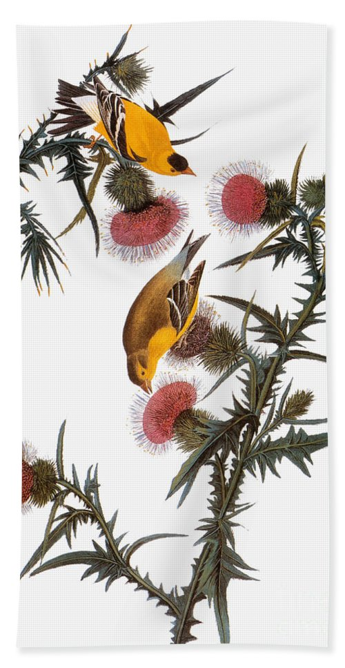1838 Beach Towel featuring the photograph Goldfinch by John James Audubon
