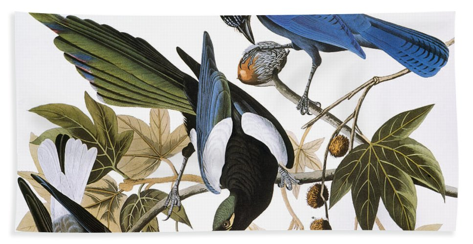 1838 Beach Towel featuring the photograph Audubon: Jay And Magpie by Granger