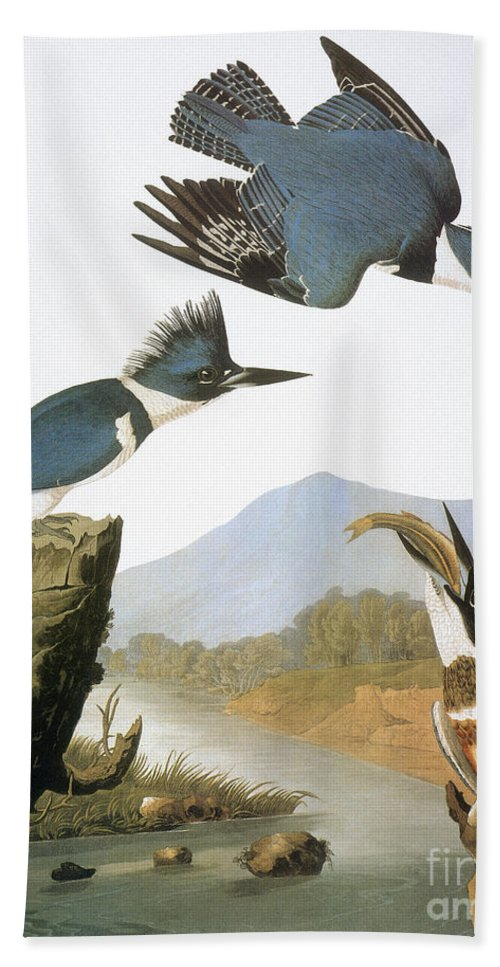 1827 Beach Towel featuring the photograph Audubon Kingfisher by Granger