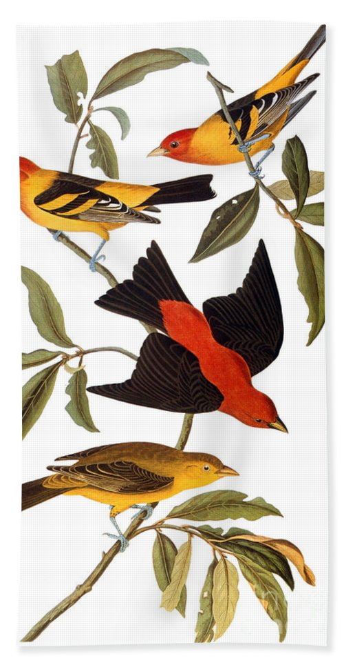 1827 Beach Towel featuring the photograph Audubon: Tanager, 1827 by Granger