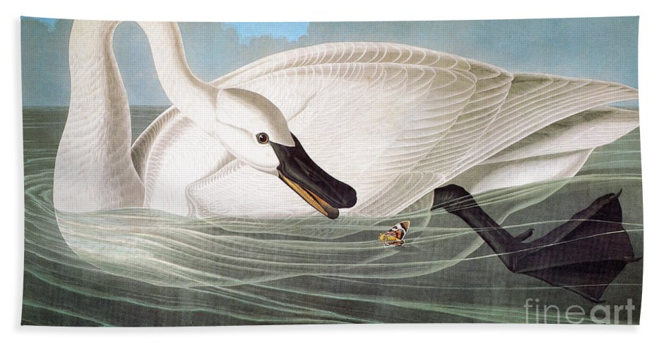 1827 Beach Towel featuring the photograph Audubon: Trumpeter Swan by Granger