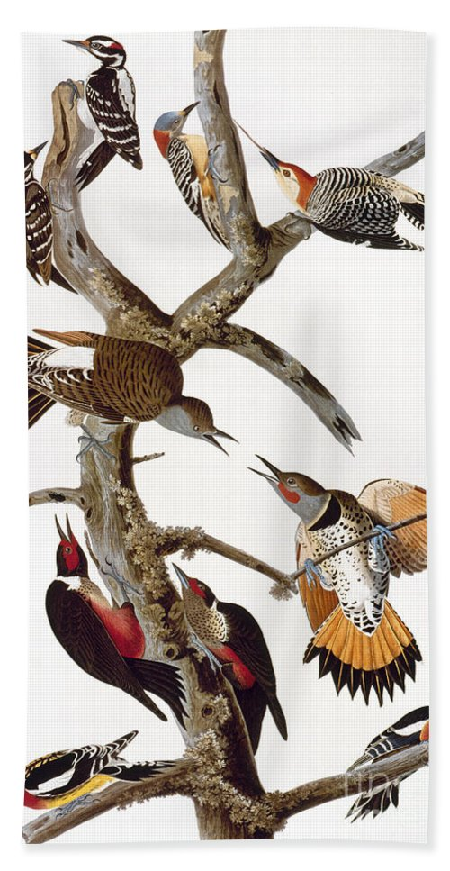 1838 Beach Towel featuring the photograph Audubon: Woodpeckers by Granger
