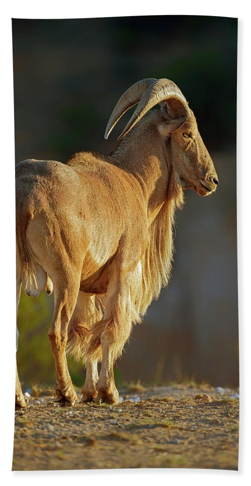 Aoudad Beach Towel featuring the photograph Auodad Sheep by Gary Langley