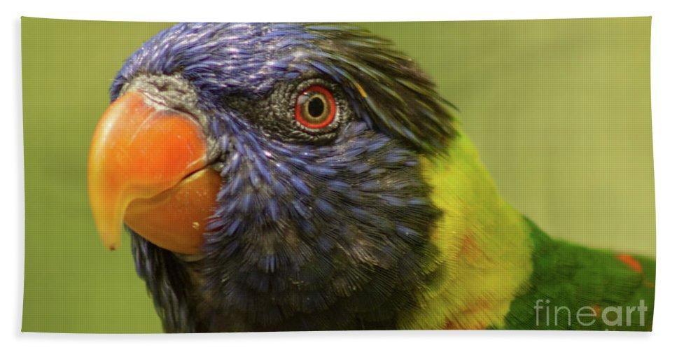 Bird Beach Towel featuring the photograph Australian Rainbow Lorikeet by Steven Parker