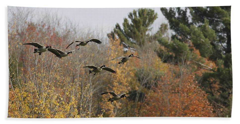 Geese Beach Towel featuring the photograph Autumn Geese by Deborah Benoit