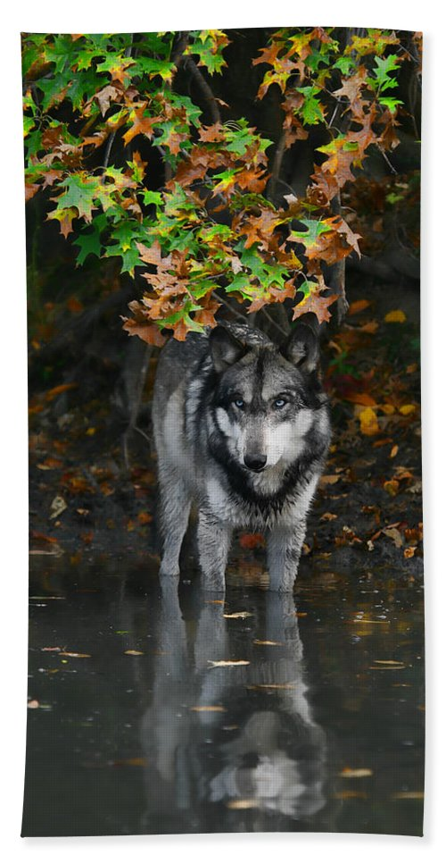 Wolf Wolves Lupine Canis Lupus Wildlife Animal Photography Photograph Beach Sheet featuring the photograph Autumn Wolf by Shari Jardina