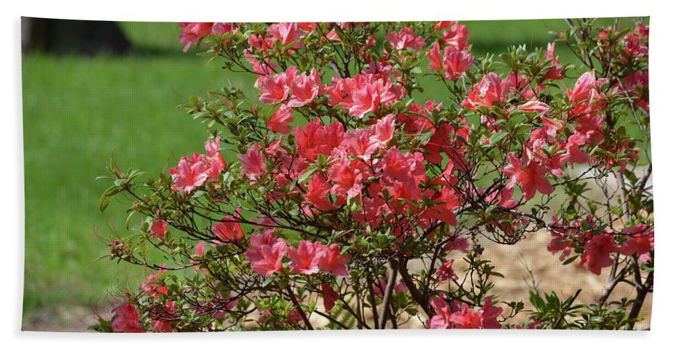 Azalea Bush 2 Beach Towel featuring the photograph Azalea Bush 2 by Ruth Housley