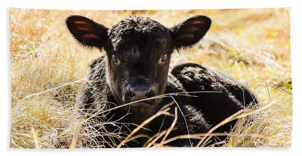 Baby Beach Towel featuring the photograph Baby Angus Calf Hideaway by Jeanie Mann