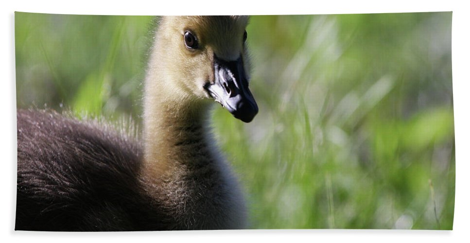Canadian Geese Beach Towel featuring the photograph Baby Canadian by Karol Livote