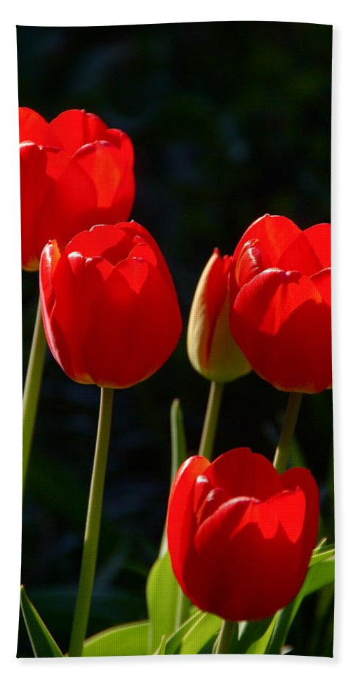 Tulip Beach Towel featuring the photograph Backlit Red Tulips by Byron Varvarigos