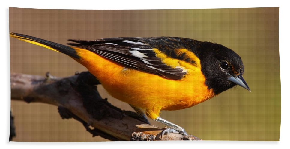 Baltimore Beach Towel featuring the photograph Baltimore Oriole by Bruce J Robinson