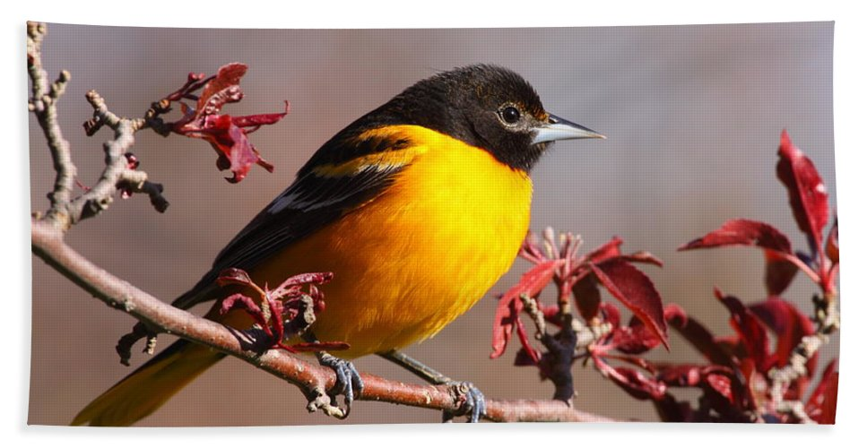 Baltimore Oriole Beach Towel featuring the photograph Baltimore Oriole In Crabapple by Bruce J Robinson